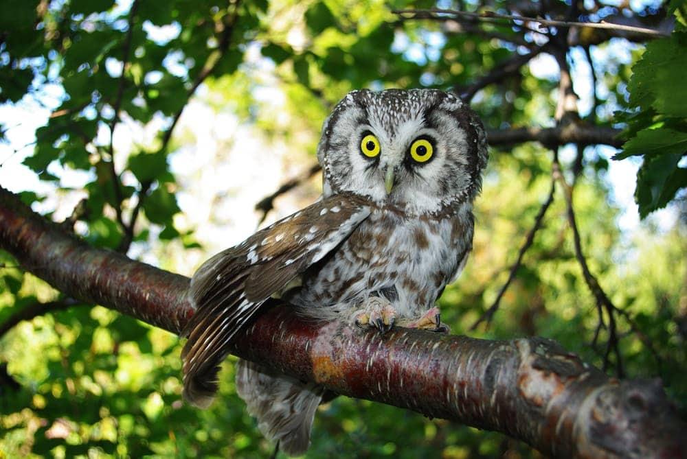 Boreal Owl (Aegolius funereus) also known as Tengmalm's Owl