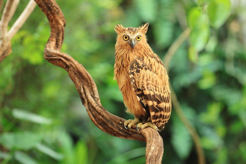 Buffy Fish-Owl (Ketupa ketupu)