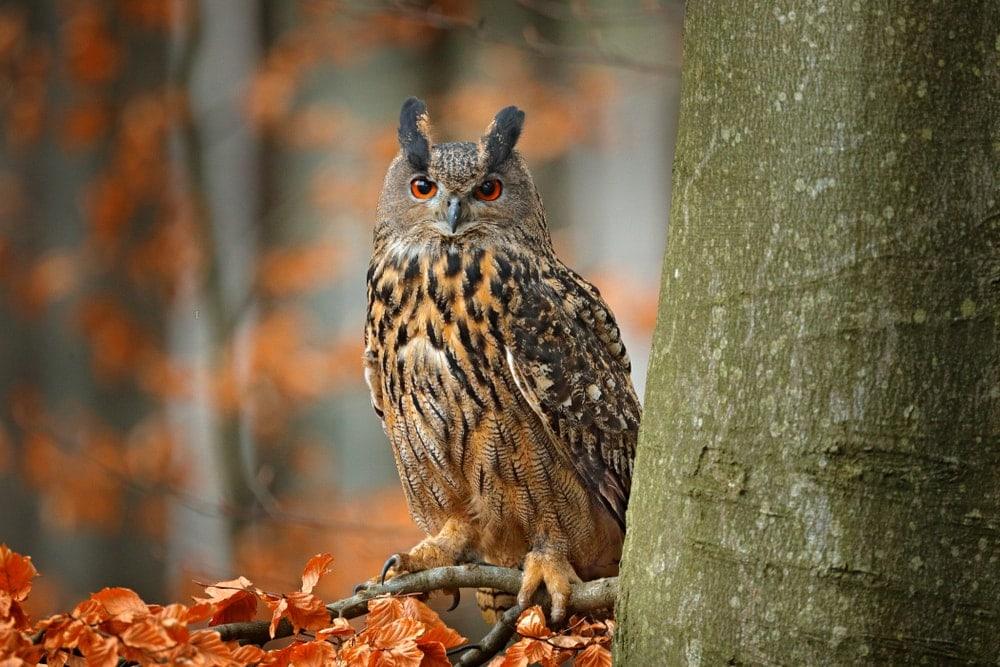 Eurasian Eagle-Owl (Bubo bubo) or uhu owl