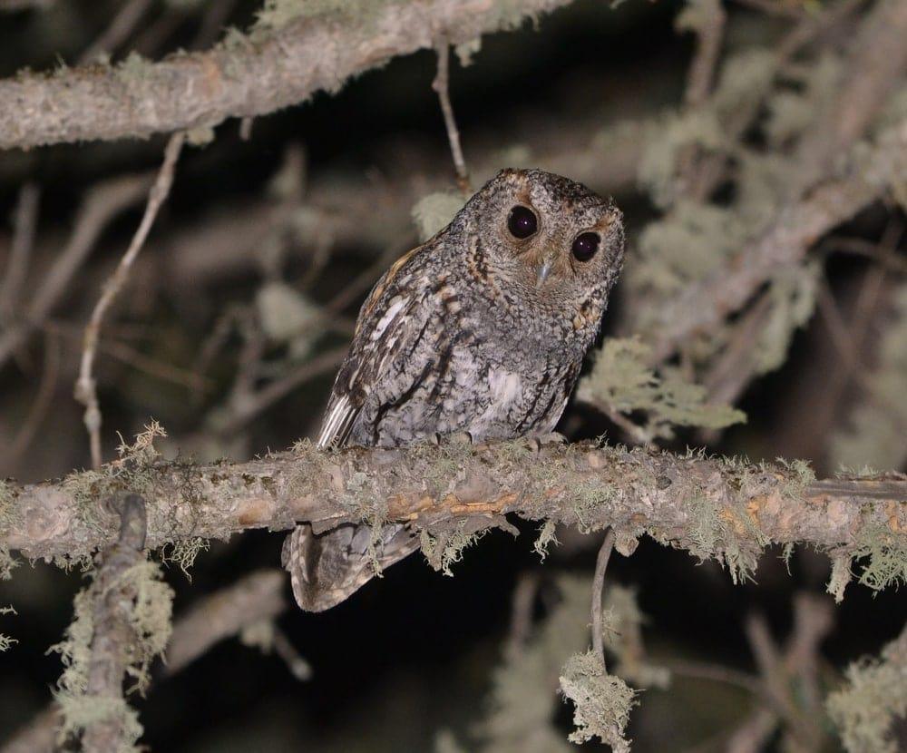 Flammulated Owl (Psiloscops flammeolus)