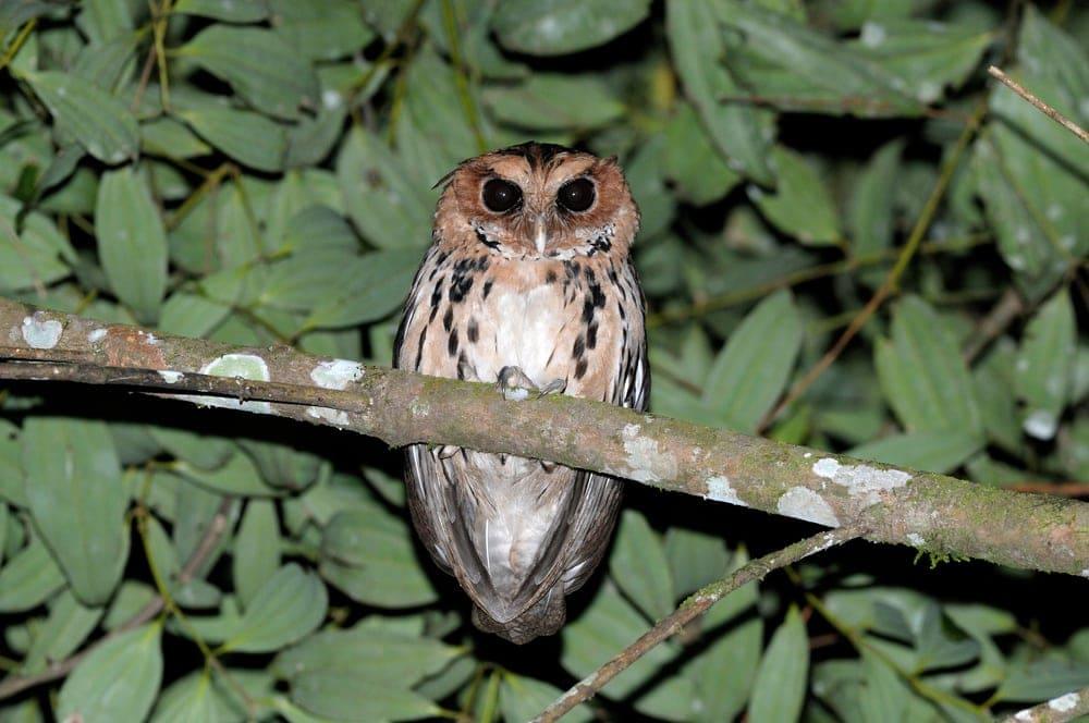 Giant Scops-Owl (Otus gurneyi) also known as mindanao eagle owl
