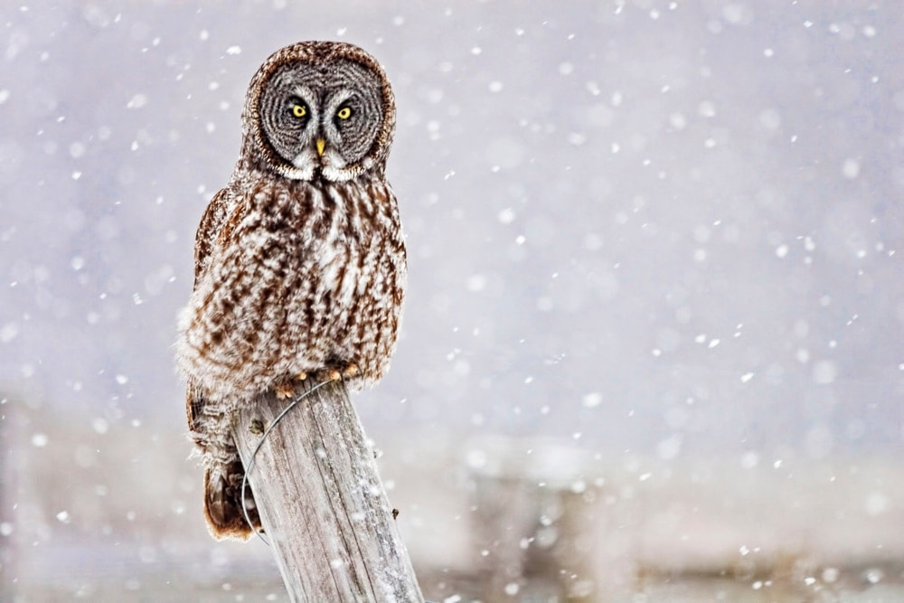 Great Grey Owl (Strix nebulosa) also known as spectral owl or phantoms of the north