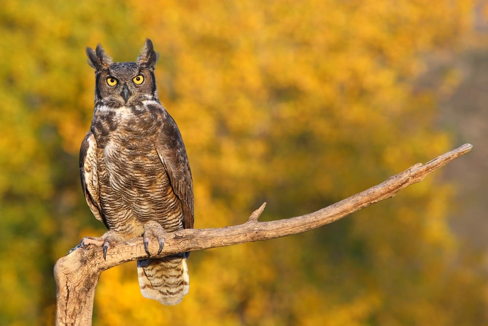 Great Horned Owl (Bubo virginianus) aka tiger owl