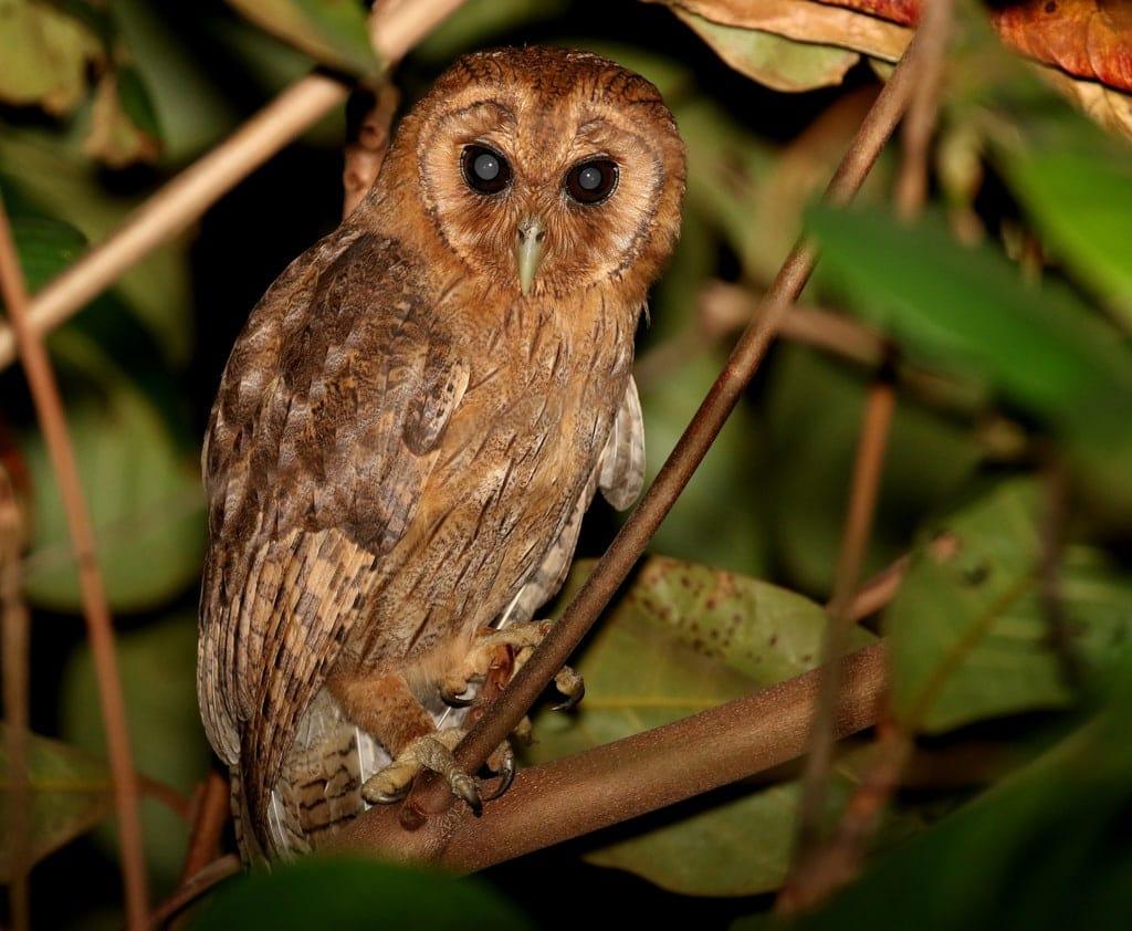 Jamaican Owl (Pseudoscops grammicus)