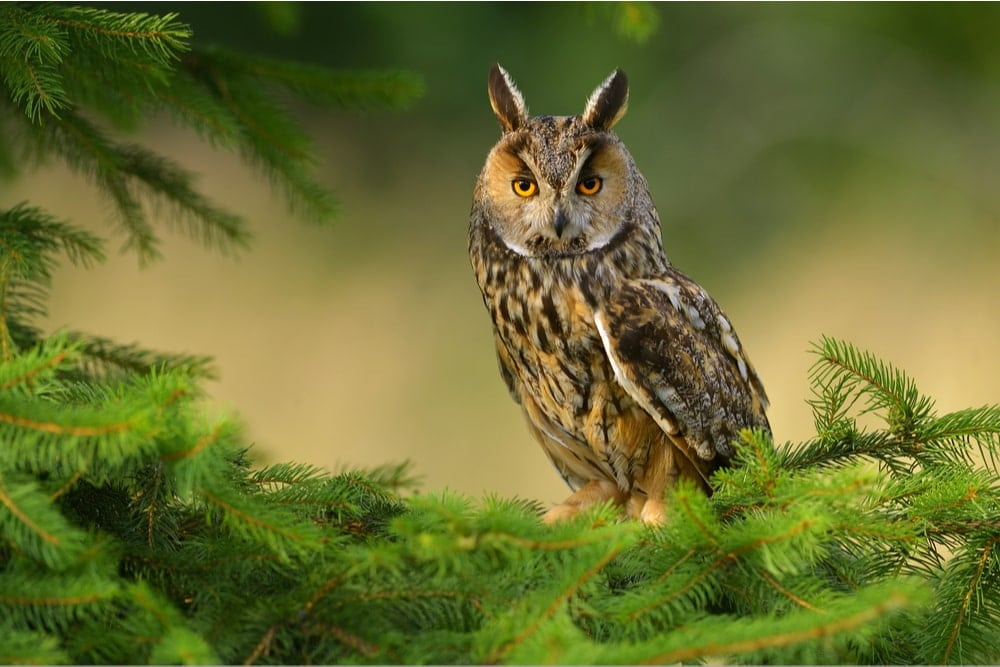 Northern Long-Eared Owl (Asio otus) also known as northern long eared owl or lesser horned or cat owl