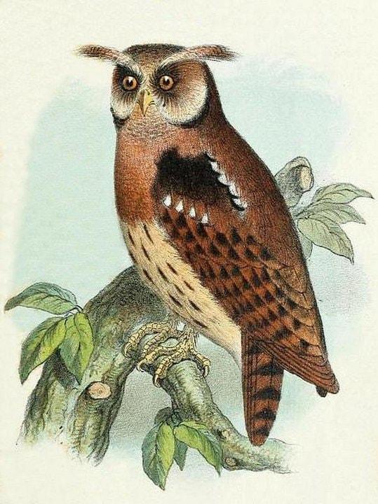 Maned Owl (Jubula lettii)
