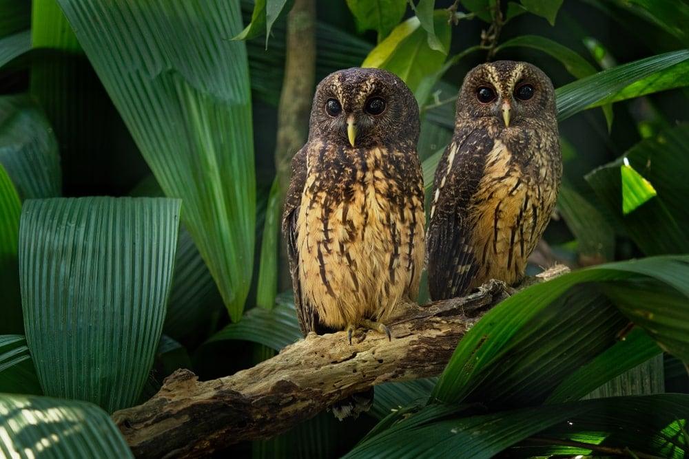 Mottled Owl (Ciccaba/Strix virgata)