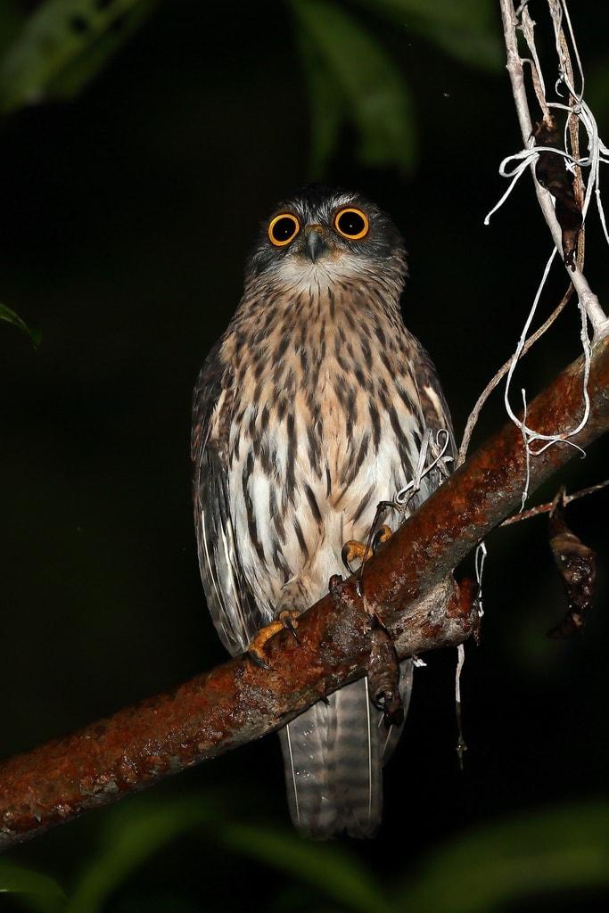 Papuan Boobook (Uroglaux dimorpha)