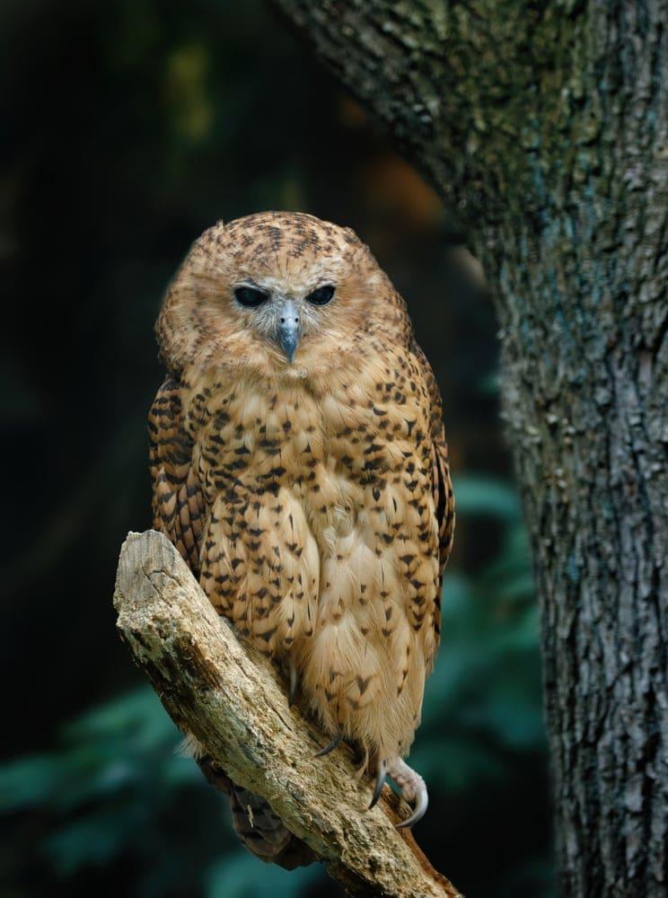 Pel's Fishing-Owl (Scotopelia peli)