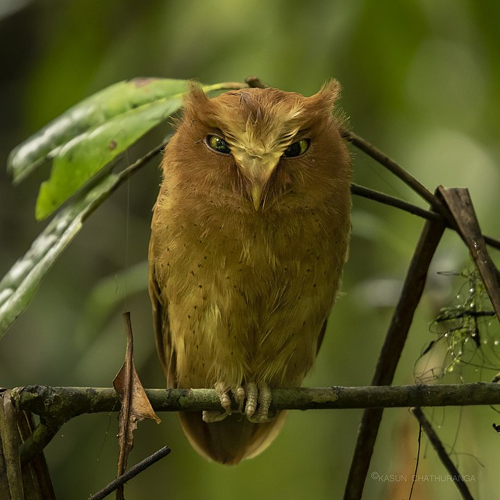 Serendib Scops-Owl (Otus thilohoffmanni)