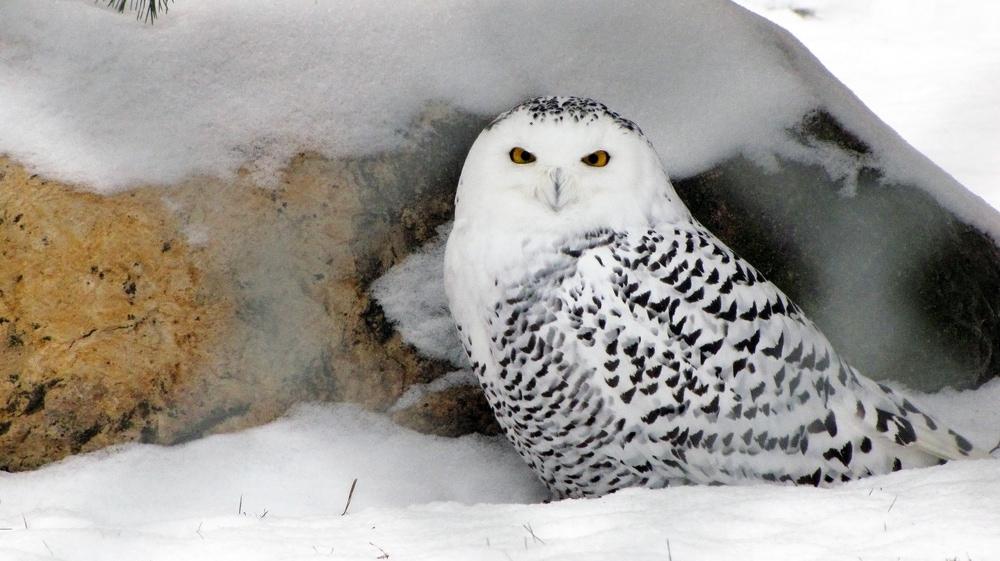 Snowy Owl (Bubo scandiacus) also known as polar owl, arctic owl or white owl