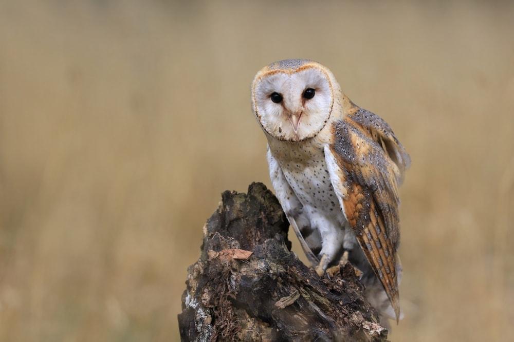American Barn Owl (Tyto furcata)