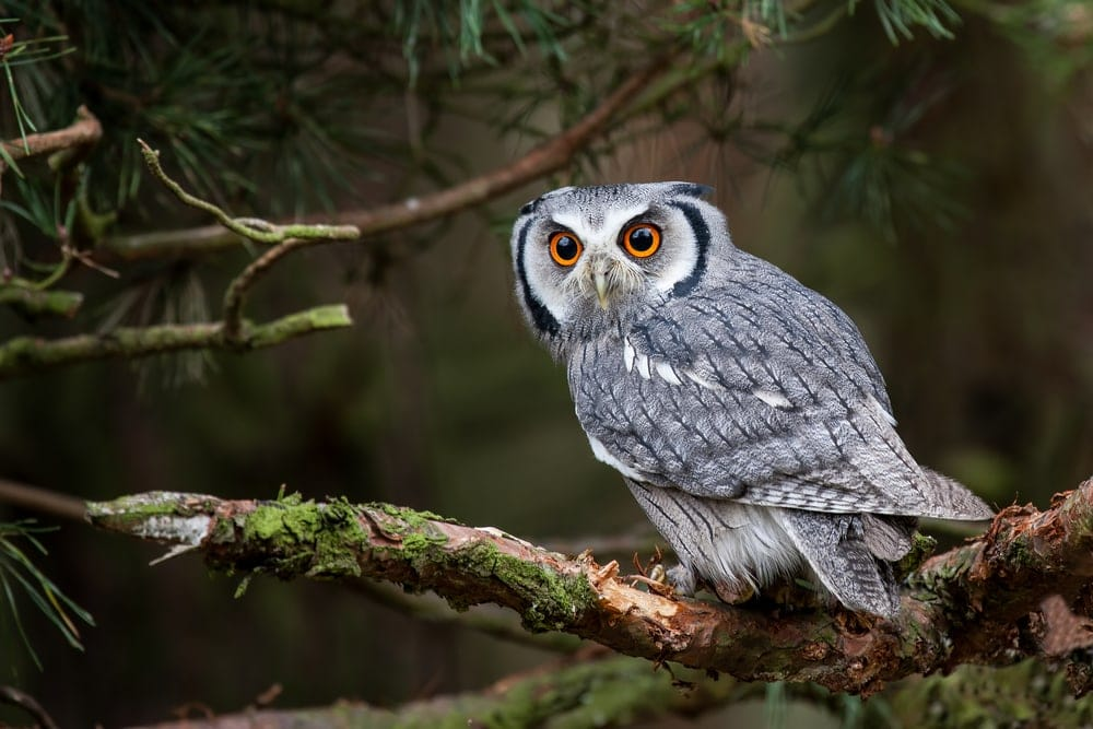Northern white-faced owls (Ptilopsis leucotis)