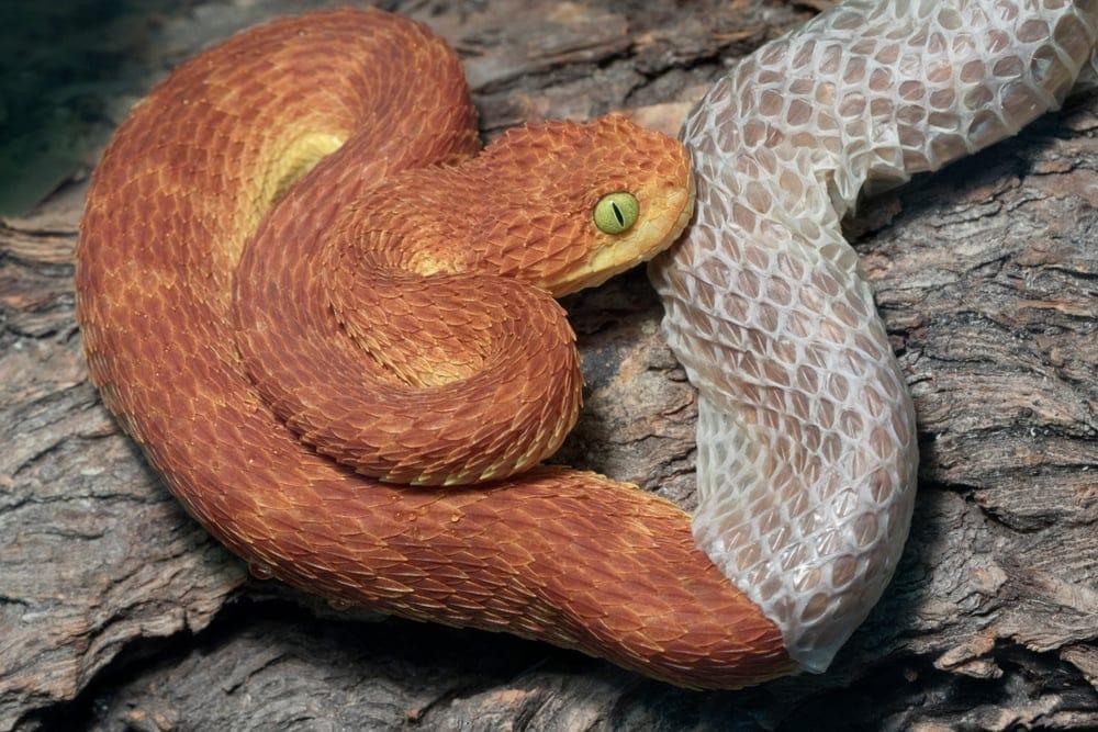 Snakes shedding skin