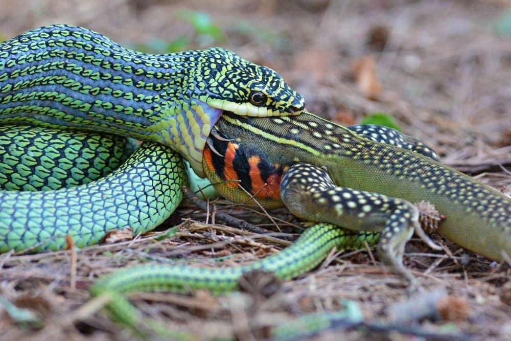 Snake eating a lizard