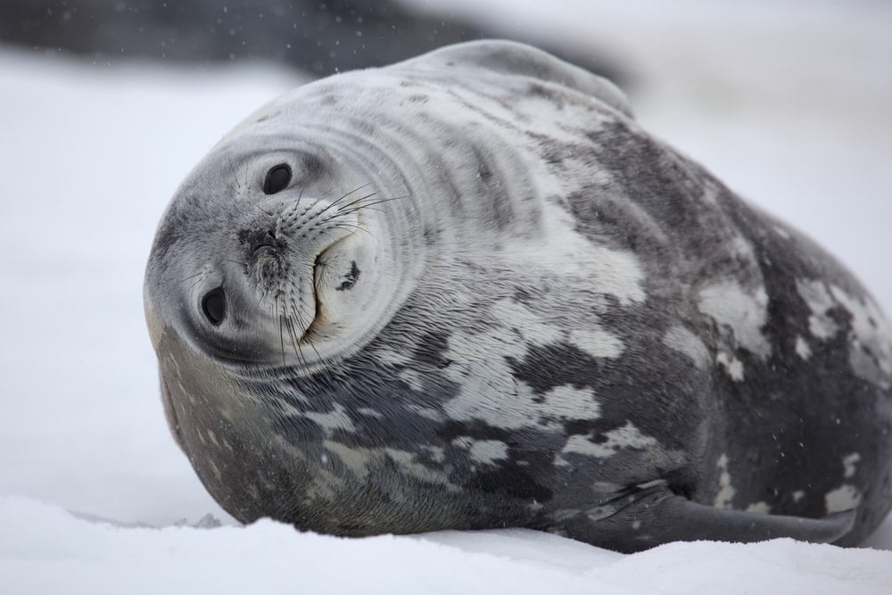 Weddell seal(Leptonychotes weddellii)
