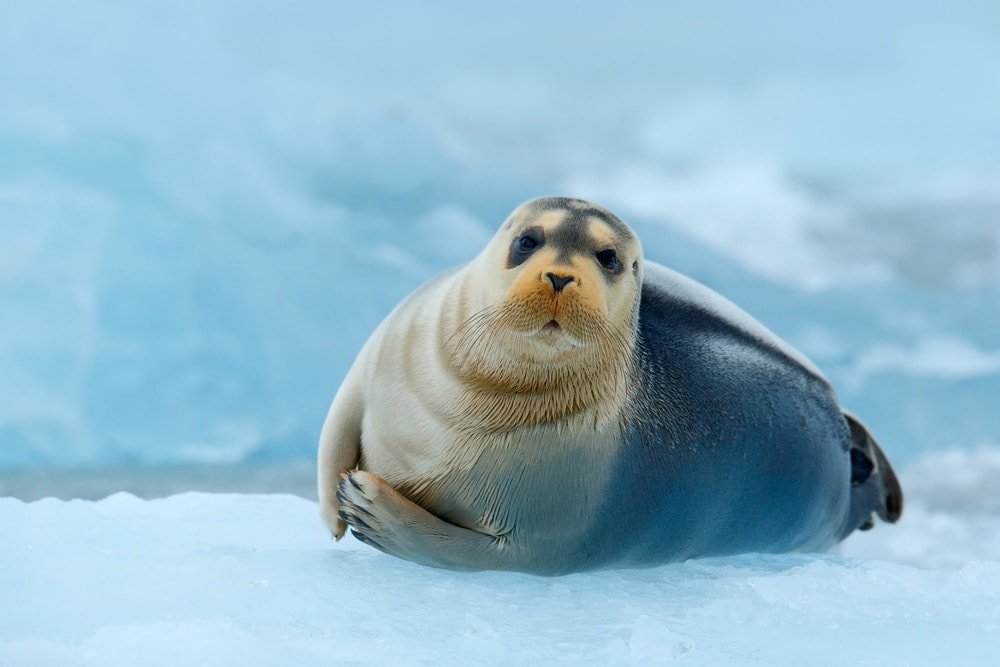 bearded seal(Erignathus barbatus)