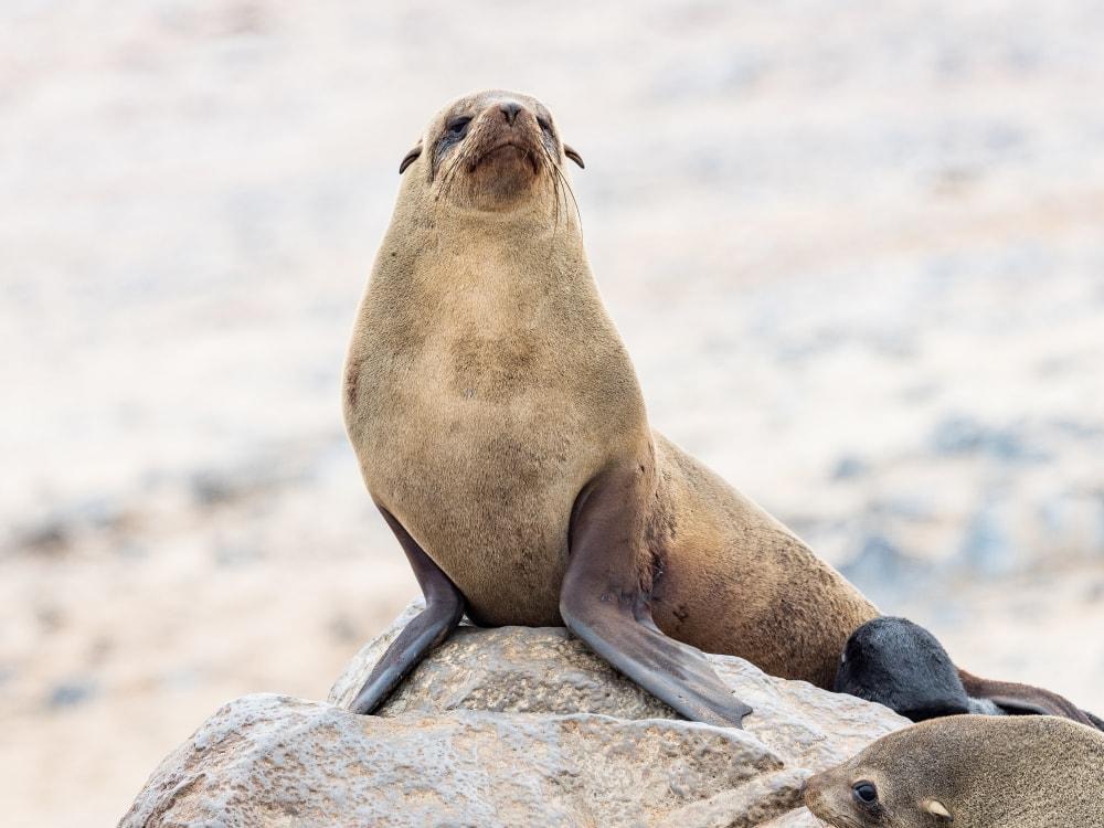 brown fur seal(Arctocephalus pusillus)