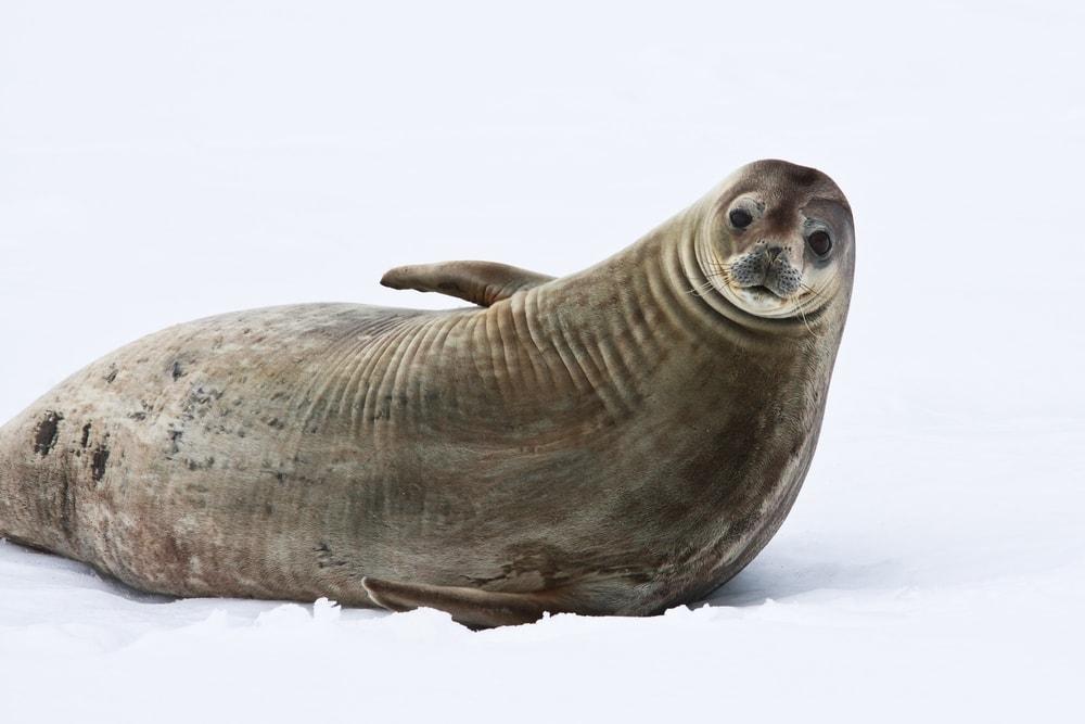 crabeater seal(Lobodon carcinophagus)