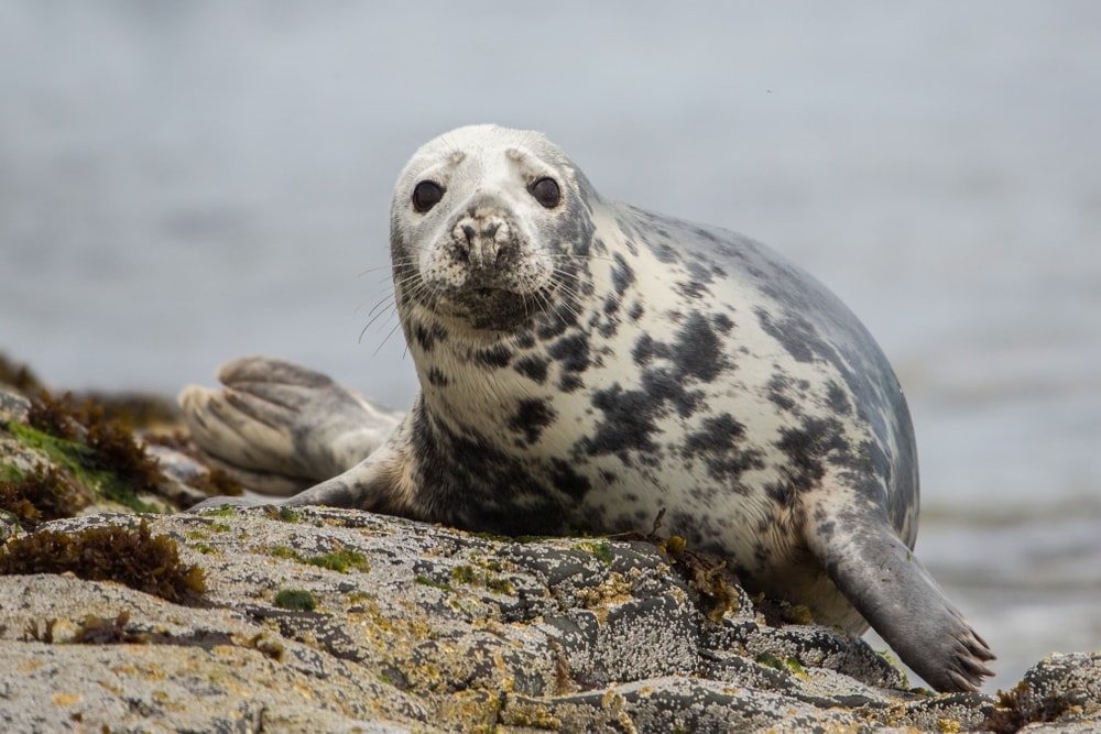 grey seal(Halichoerus grypus)
