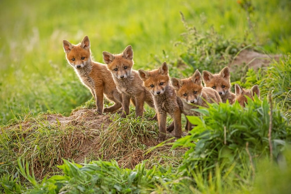group of red foxes