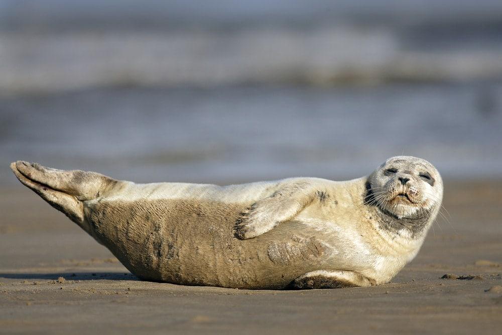 harbor seal(Phoca vitulina)