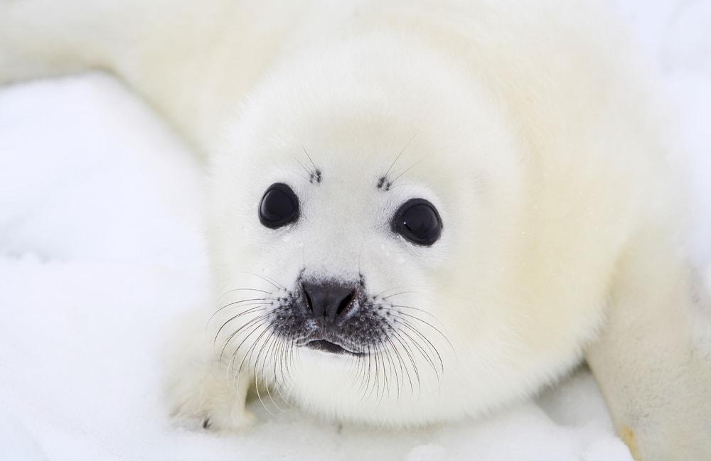 harp seal(Pagophilus groenlandicus)