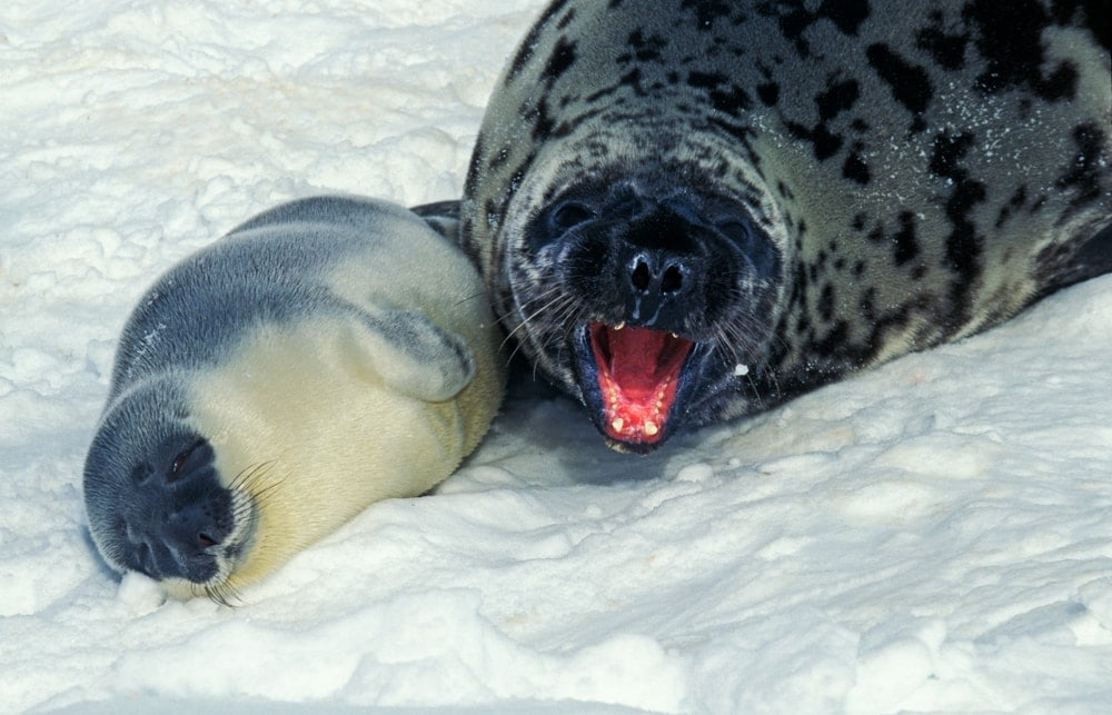 hooded seal(Cystophora cristata)