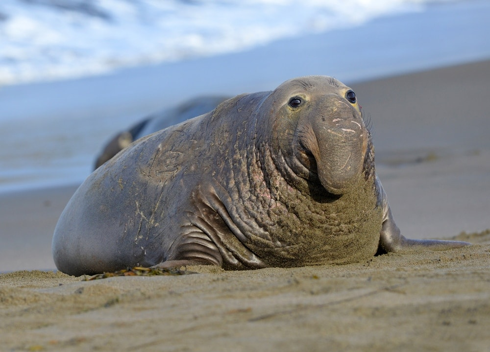 northern elephant seal(Mirounga angustirostris)
