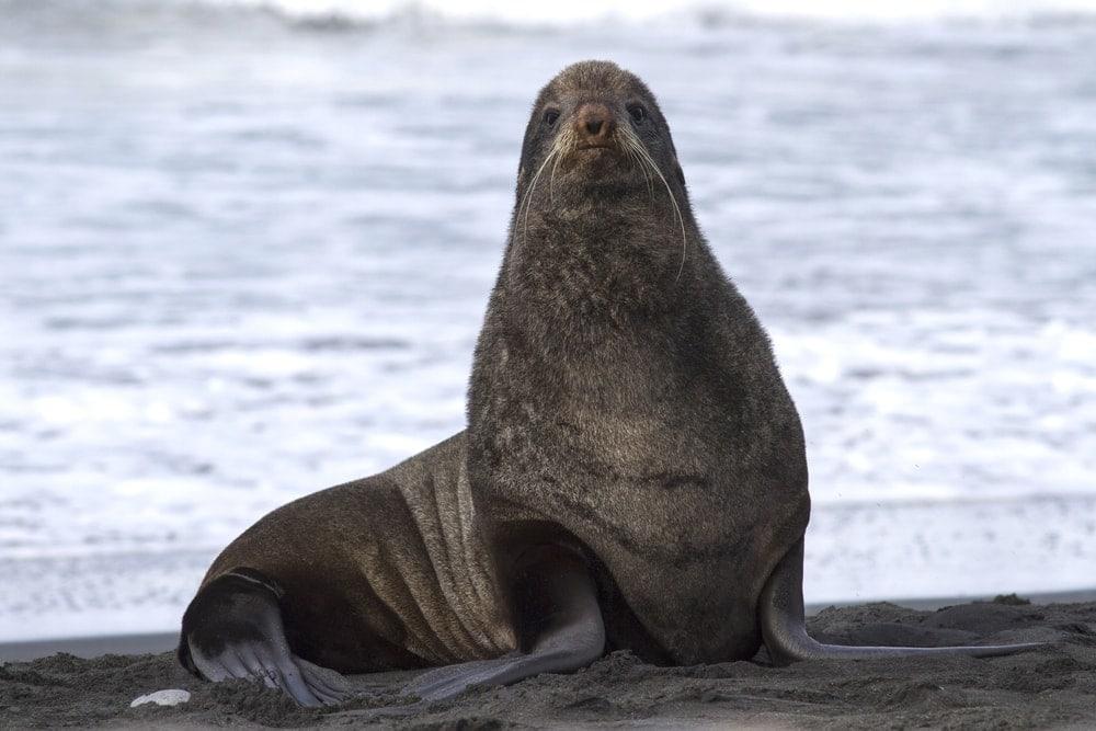 northern fur seal(Callorhinus ursinus)
