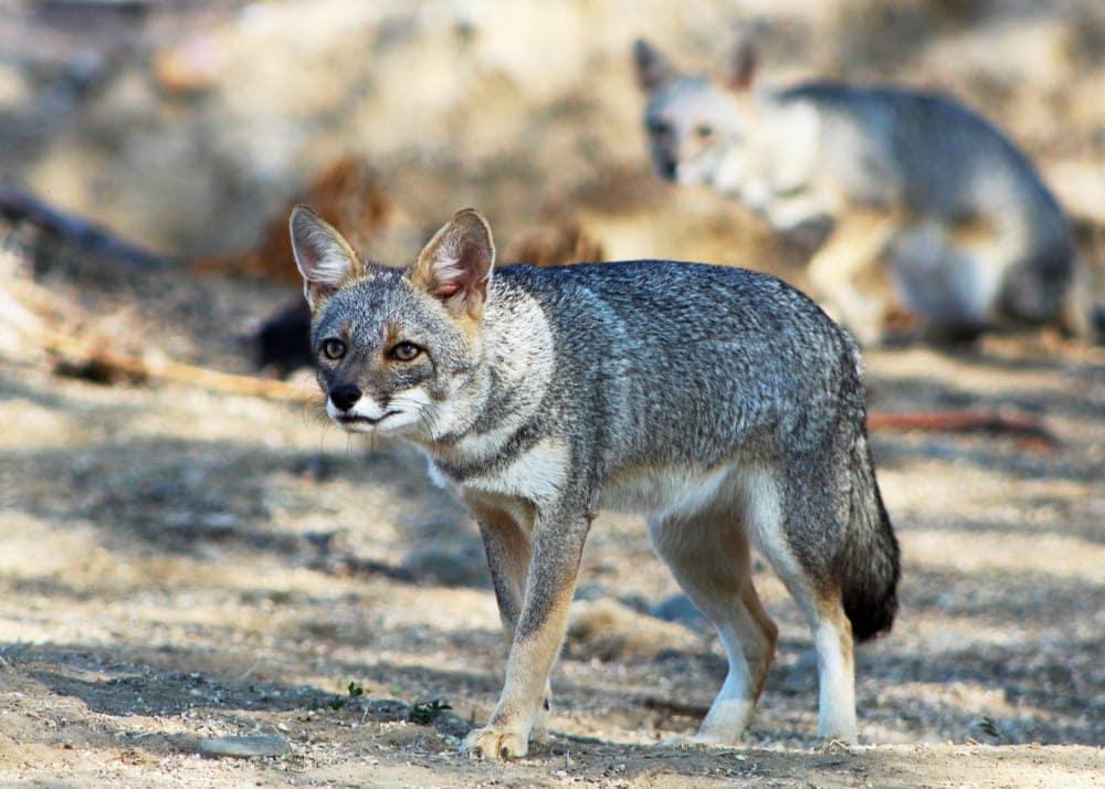 Sechuran Fox
