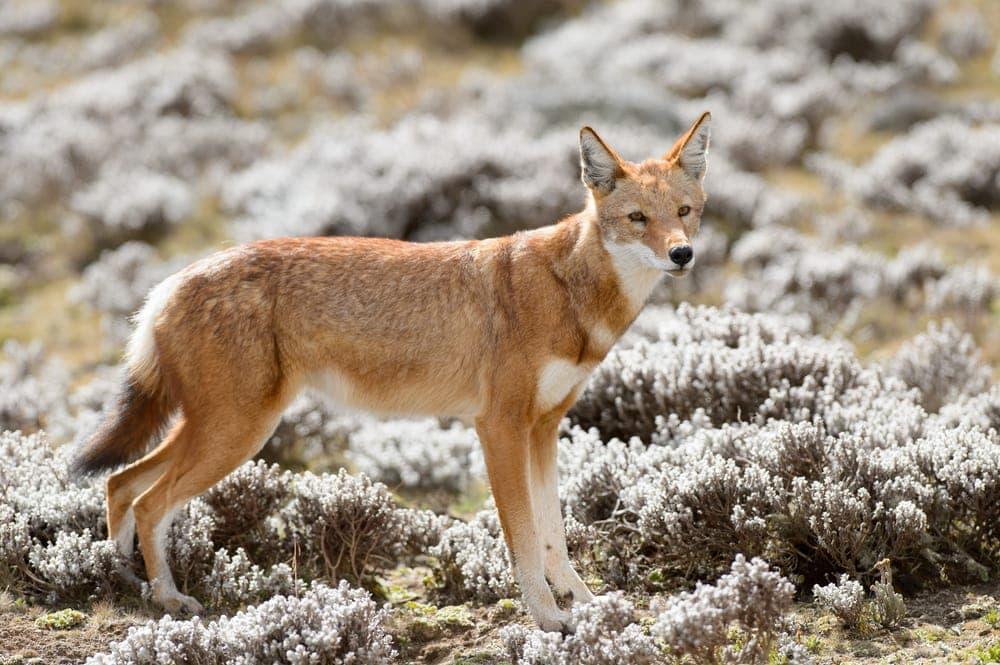 Simien fox