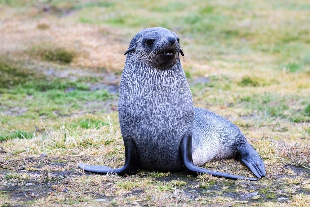 Antarctic fur seal(Arctocephalus gazella)