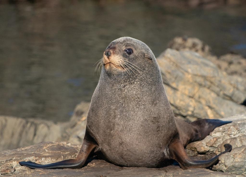 New Zealand fur seal(Arctocephalus forsteri)