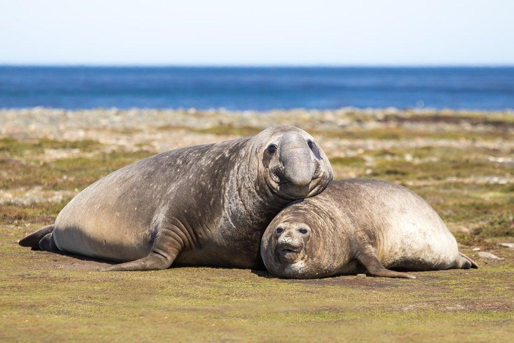 southern elephant seal(Mirounga leonina)
