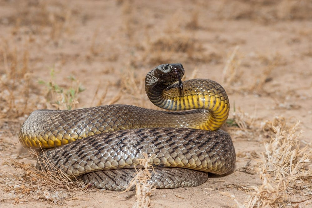 Inland Taipan on the ground looking for prey