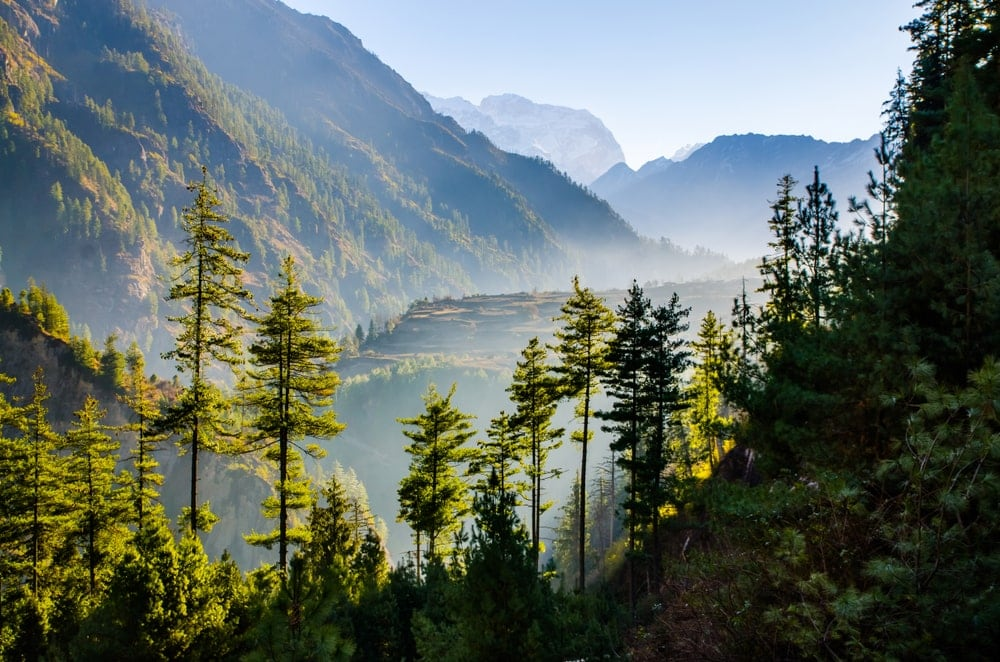 Tropical and Subtropical Coniferous Forests
